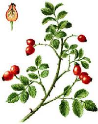 Rosehips for Pregnancy